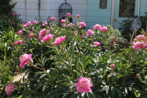 Peonies in the side garden