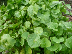 Miner's lettuce - locally and abundantly available, edible