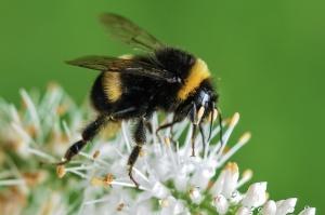 bee-bumblebee-insect-macro-large (2)