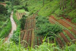 Terraced Coffee Plants in Vietnam / Wikipedia