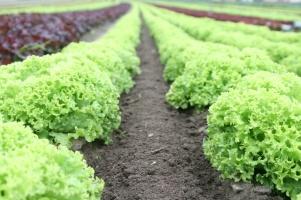 lettuce II