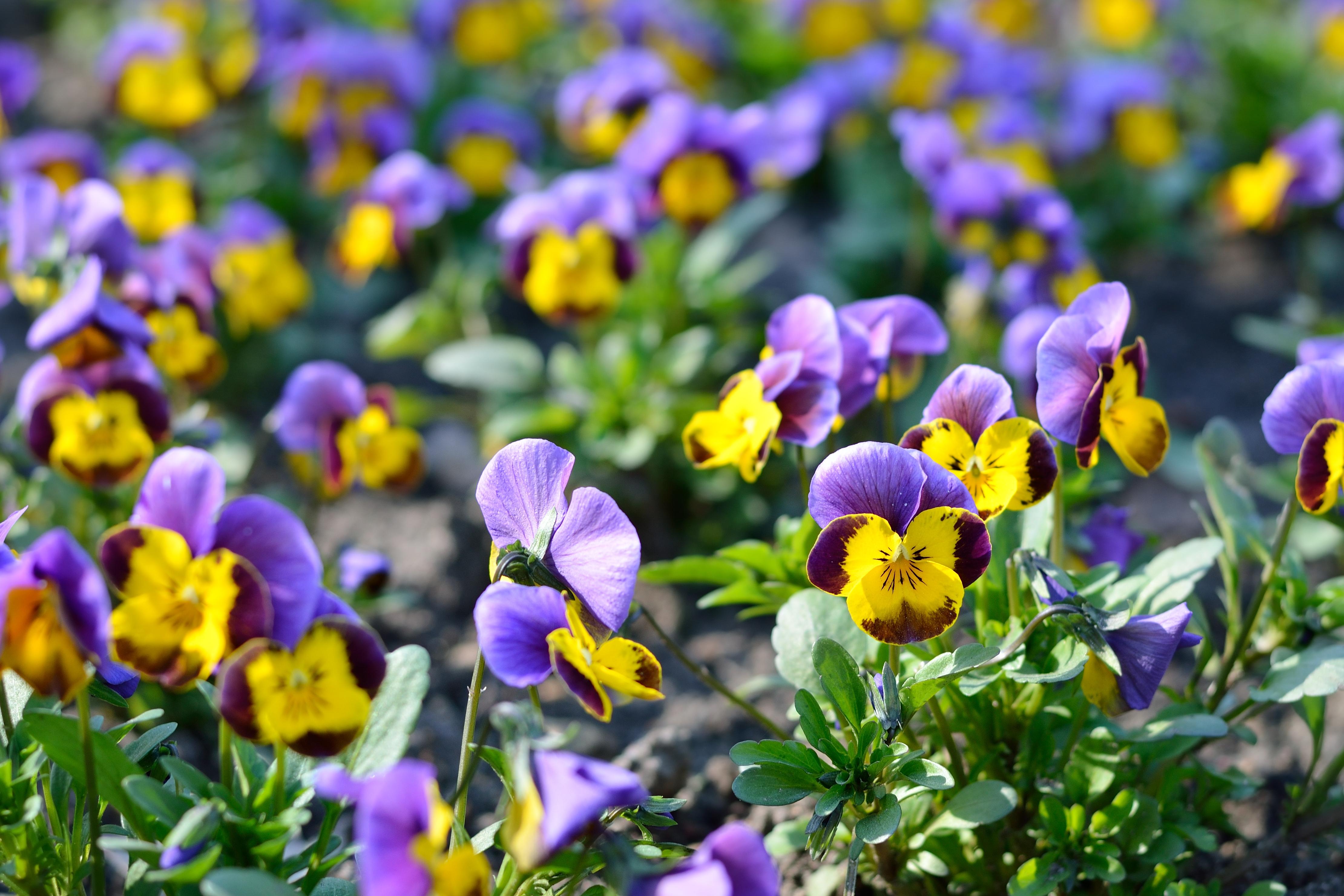 heartsease flower (Viola tricolor) in spring