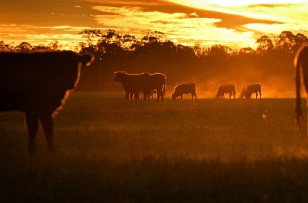 Cattle graze in country paddock with sunset background, Australia.